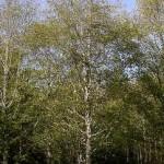 Alder tree (Alnus rubra)