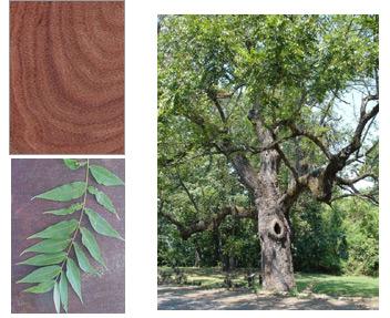 Walnut: The Premier North American Hardwood – Woodworkers Source Blog