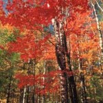 Hard Maple trees in fall color