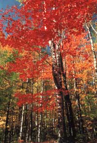 The many faces of hard maple lumber rock sugar brown and white hard maple trees in fall color sciox Choice Image