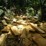 Making billets out of logs on site in the jungle causes less damage to the forest than dragging out whole logs.