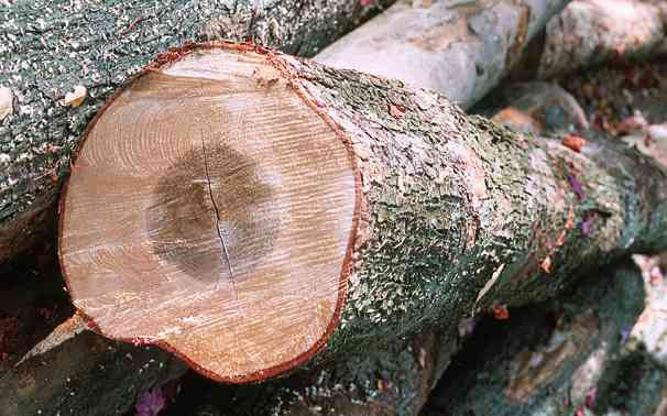 Maple Wood Tree ~ The many faces of hard maple lumber rock sugar brown