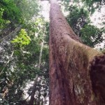 Bubinga tree in Cameroon